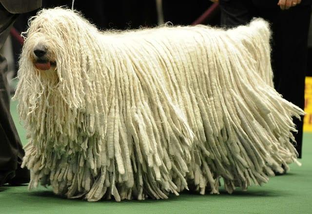 10 raças de cachorro que você nunca ouviu falar!