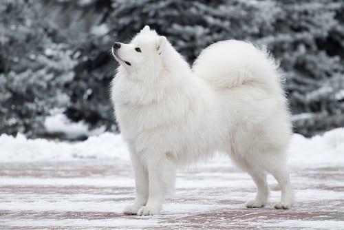 As 10 raças de cachorro mais caras do mundo