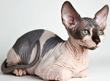 10 raças de gatos mais incomuns do mundo